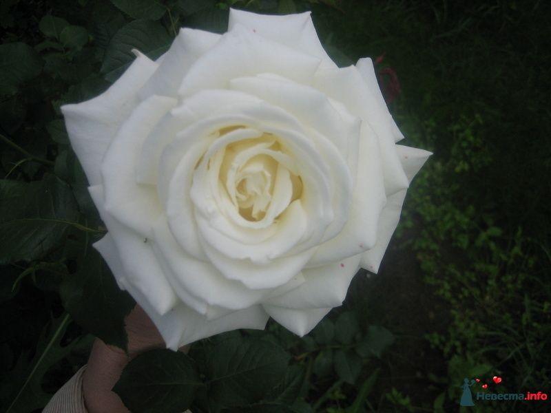 Чайная роза - фото 107515 Svetlanamos