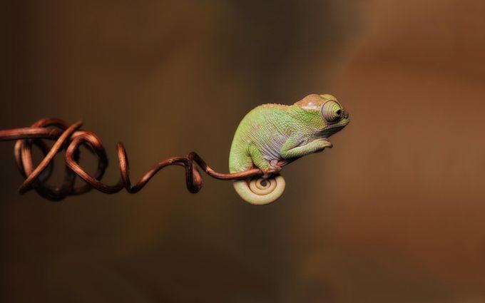 chameleon wallpaper 1920x1200 -#main