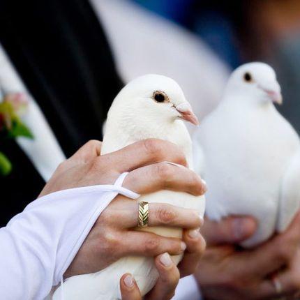 Эльбинские белоголовые голуби