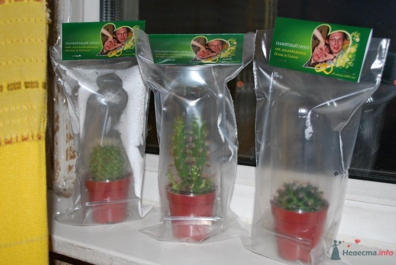 Кактусы с индивидуальной этикеткой. на подарок гостям.
