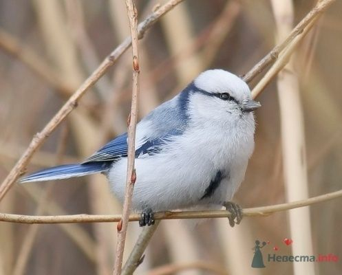 Синичка. Белая лазоревка - фото 71553 Incognito